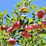 Kruchość i smak - jabłoń Lobo